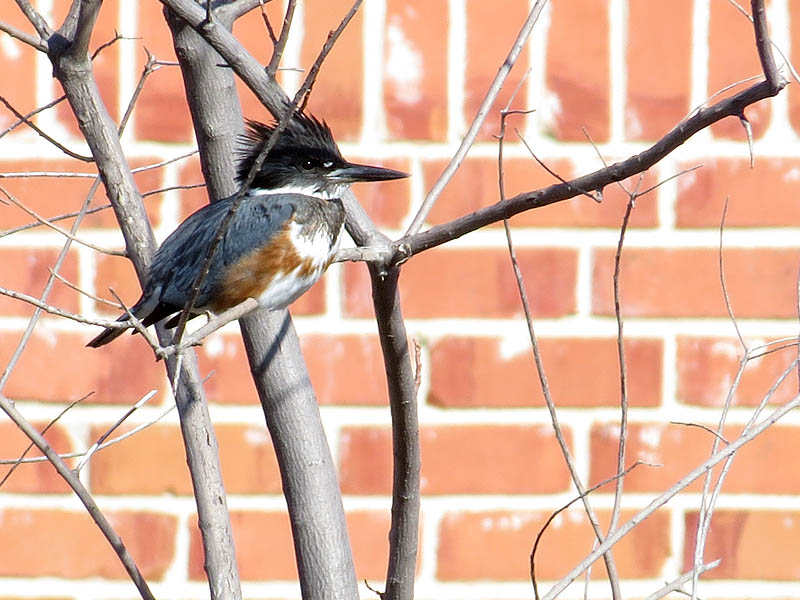 Belted Kingfisher - Up Close