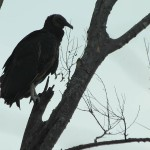 Black Vulture - Awaiting the Morning Sun