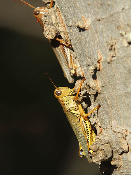 Differential Grasshoppers in late October.