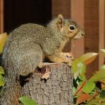 Fox Squirrel - Dozing