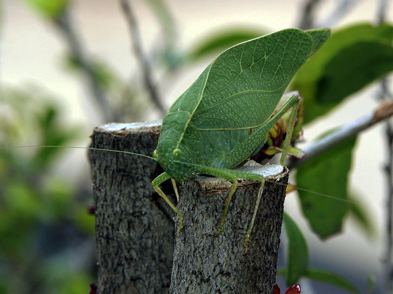 Greater Angle-wing Katydid - Animal or Vegetable?