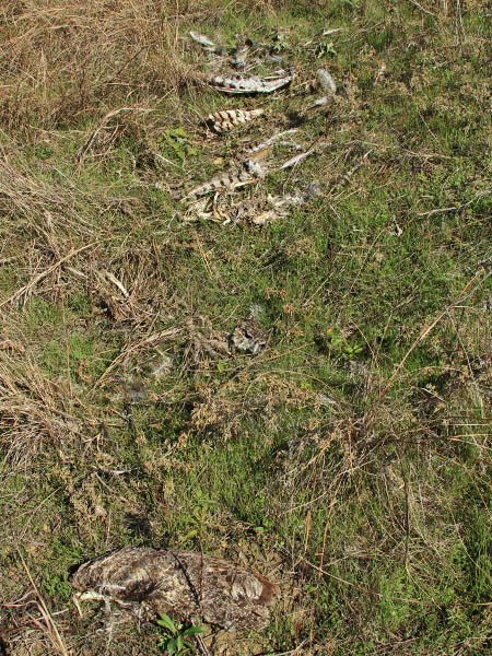 Bits of the owl carcass were scattered across the ground.