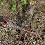 Red Swamp Crayfish - Brave or Moody?