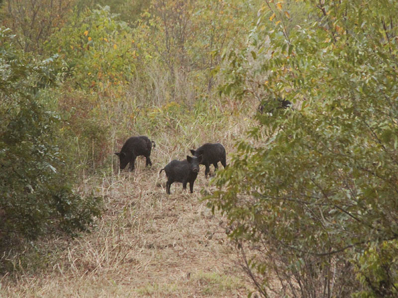 A small sounder of Feral Hogs foraging on the levee.