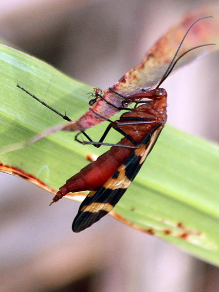 The fire ant is still present even after the Scorpionfly has moved to a new location.