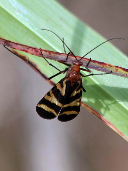 A female Scorpionfly.