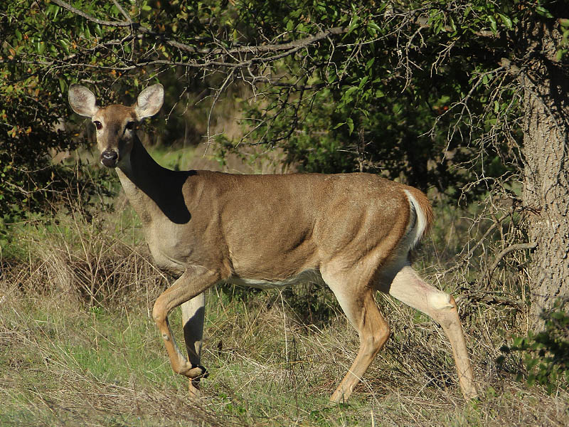 White-tailed Deer - Big Day