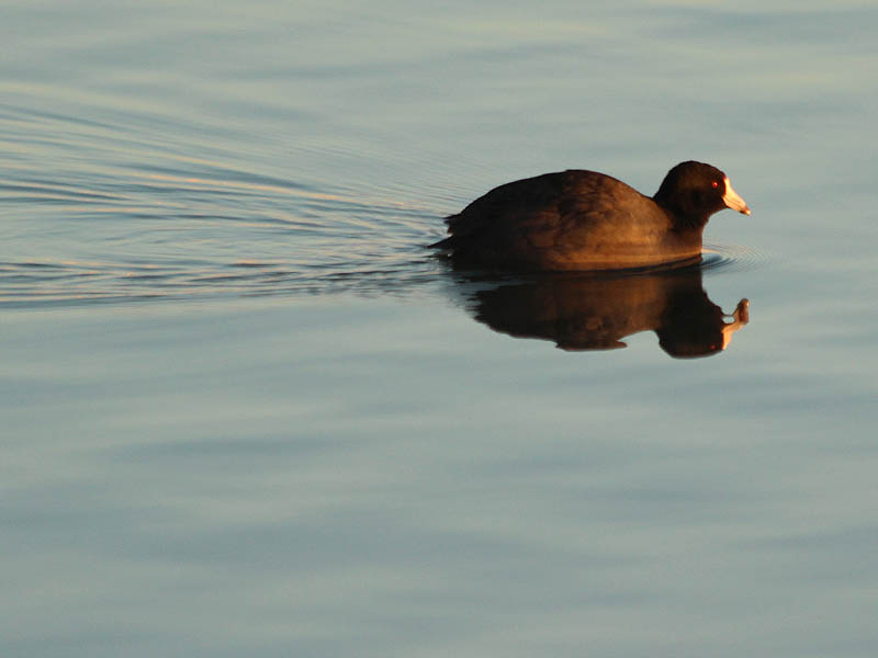 American Coot - At Dawn