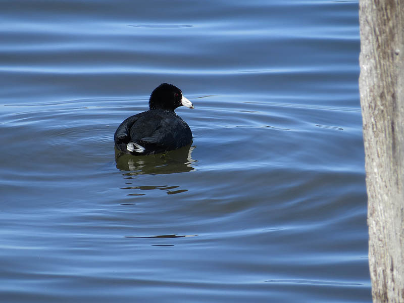 American Coot - Duck-like