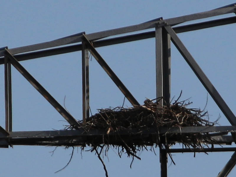 Bald Eagle - Nest: Week Five