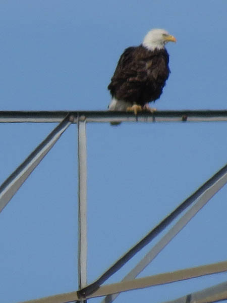 Bald Eagle - Nest: Week Four