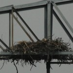 Bald Eagle - Nest: Week Three