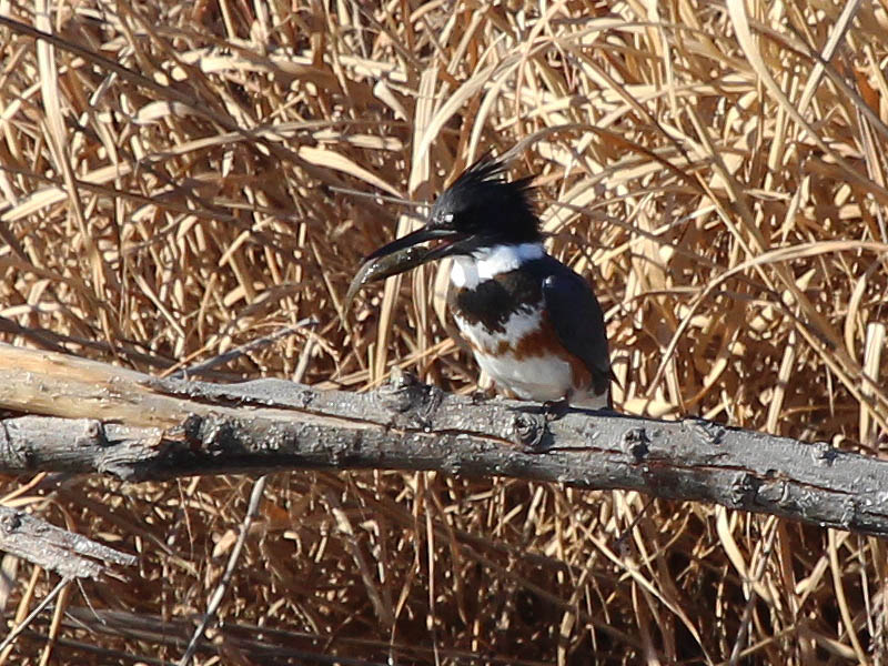 Belted Kingfisher - Fishing