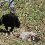 Black Vulture - Raccoon Roadkill