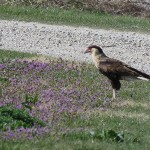 Crested Caracara - Introductions