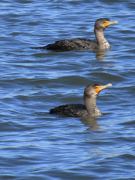 Double-crested Cormorant - Congregating