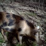 Feral Hog - Alone