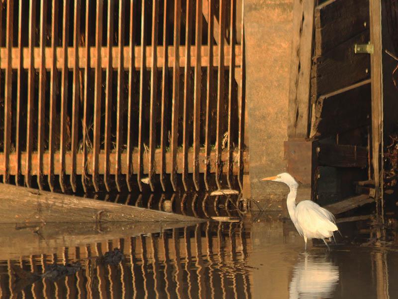 Great Egret - Carrollton Dam