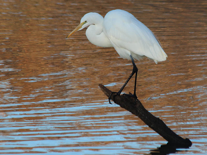 Great Egret - Carrollton Dam