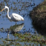 Great Egret - Forgotten Corner