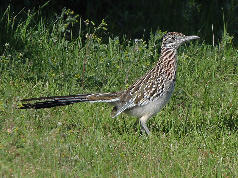 Greater Roadrunner - Beep! Beep!