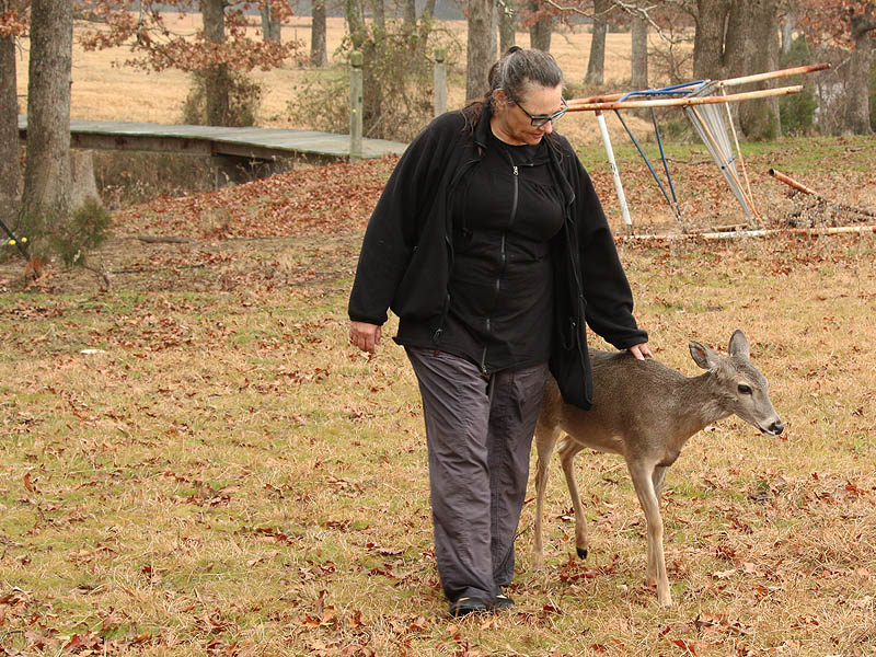 Walking around help the deer shake off the effects of the tranquilizer.