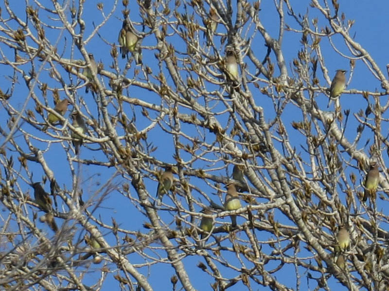 Branches loaded with Cedar Waxwings.