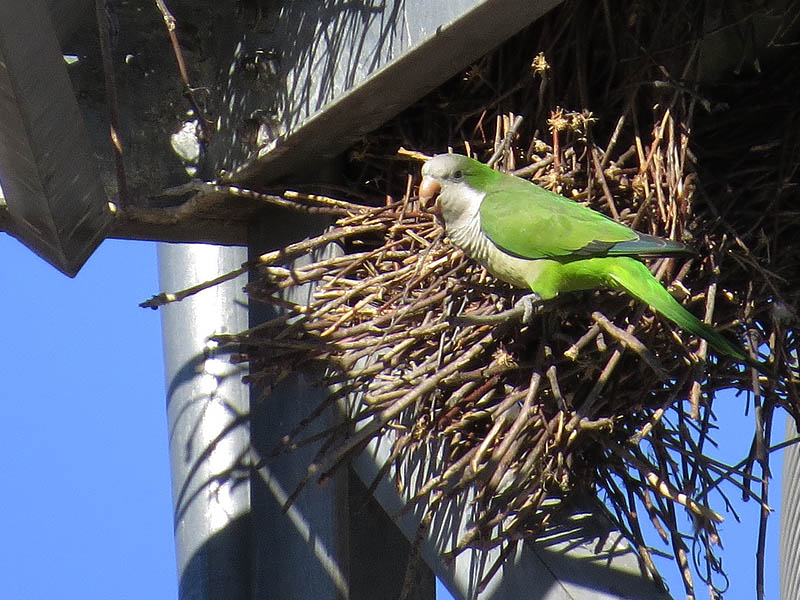 Monk Parakeet - Thriving