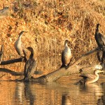 Double-crested Cormorant - On the Elm Fork