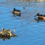 Northern Shoveler - What's Going on Here