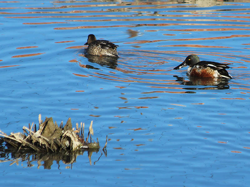 A male (right) and female (left) Northern Shoveler.