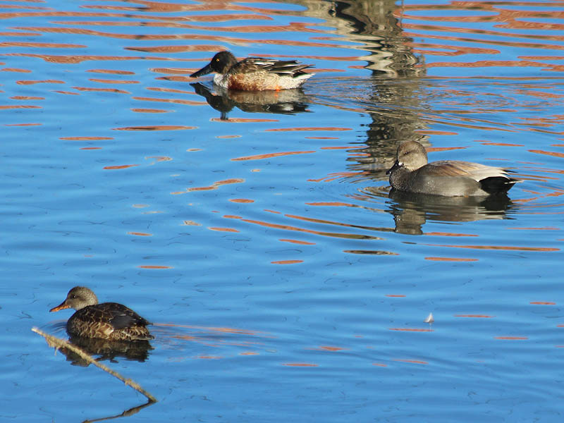 A male Northern Shoveler with a male (right) and female (left) Gadwall.
