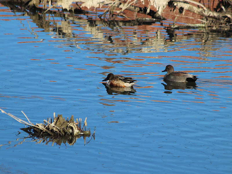 A male Northern Shoveler with a male Gadwall.