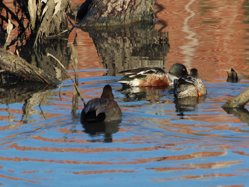 The Gadwalls often followed the Northern Shovelers.