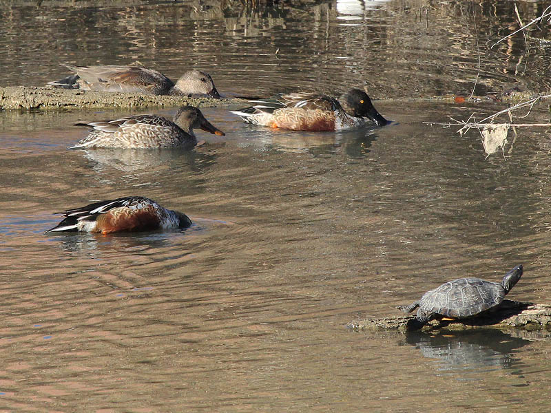 A male Gadwall swimming with two males and one female Northern Shoveler.