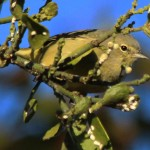 Orange-crowned Warbler - Snacking