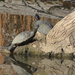 Red-eared Slider - Sunny Days