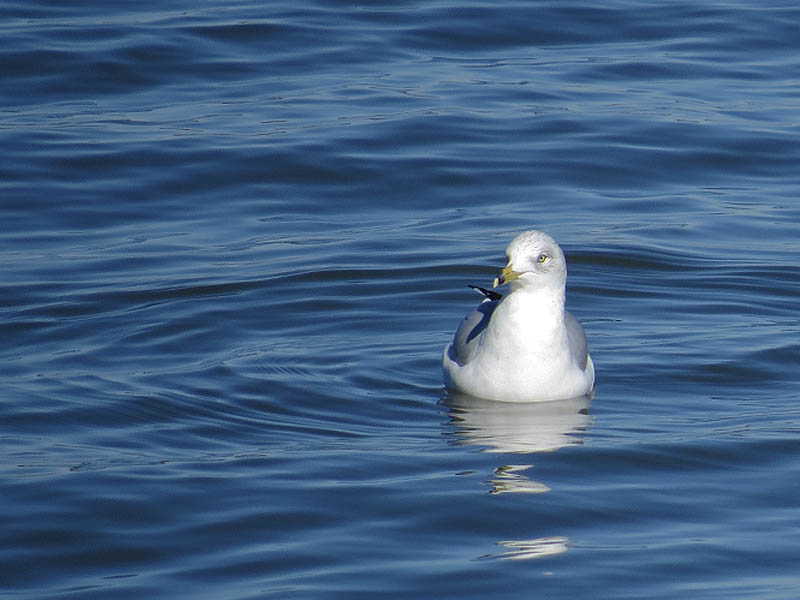 Ring-billed Gull - Spillway Congregation