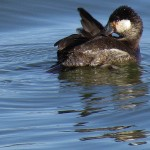 Ruddy Duck - To Tell the Tale of the Tail