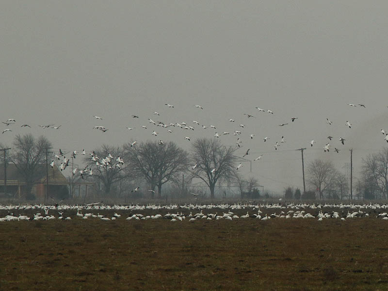 Hundreds of Snow Geese congregating in a field near Seagoville, Texas.