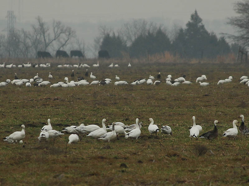 The dark Geese with white heads are blue morph Snow Geese.