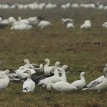 Snow Goose - And Company