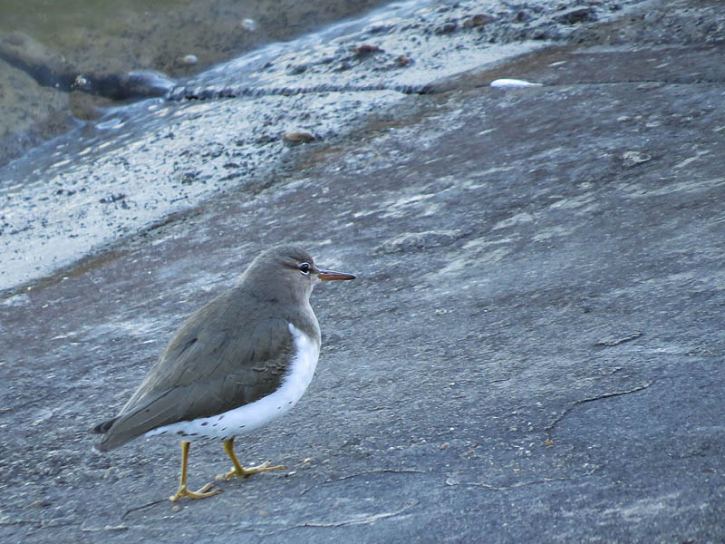 Spotted Sandpiper - Concrete Beach