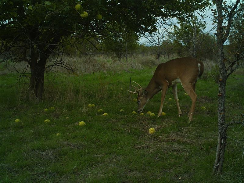 White-tailed Deer - Osage Orange Eaters?