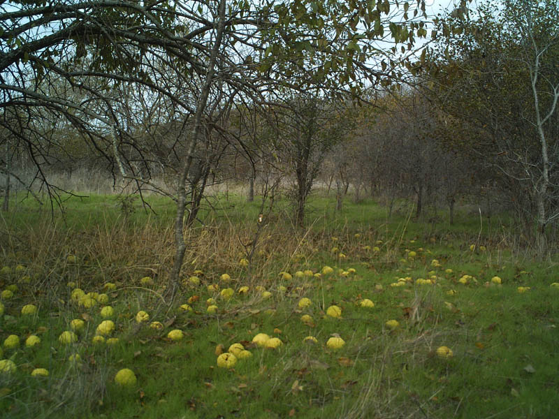 Wild Turkey - Osage Oranges