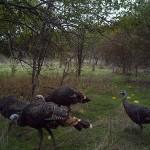 Wild Turkey - Osage Oranges