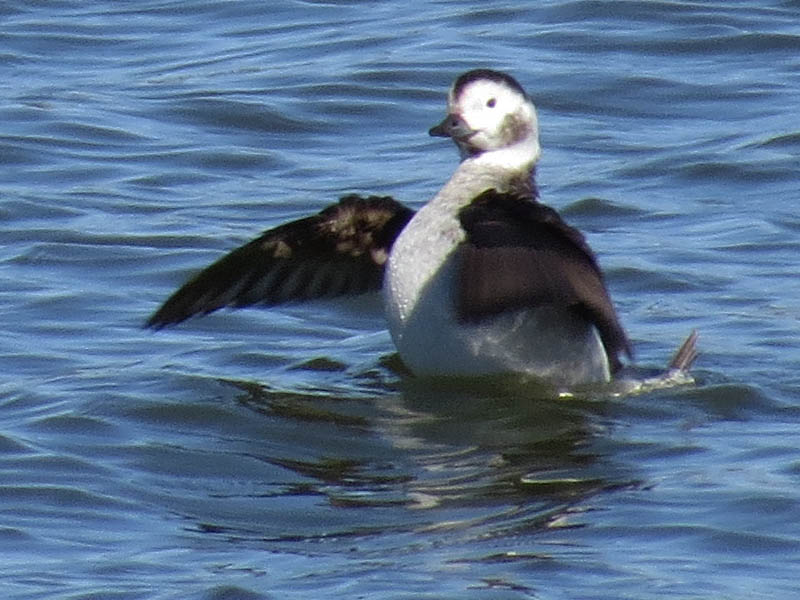 The Long-tailed Duck was observed near the White Rock Lake dam.