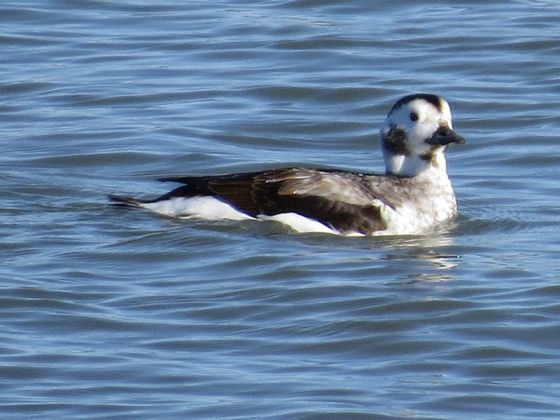 Long-tailed Ducks are diving ducks, and this one spent a lot of time under water.