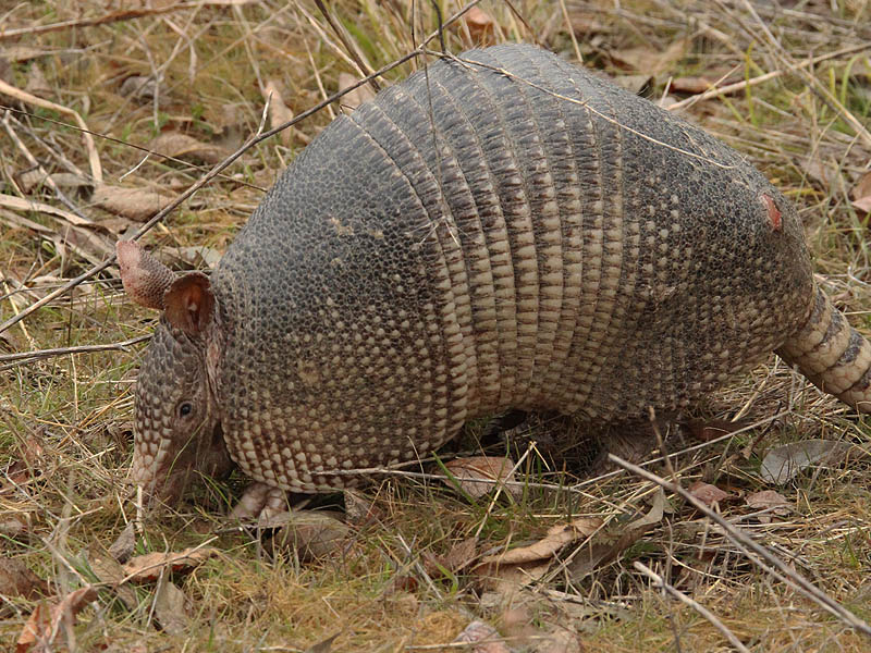 Armadillo - Old Warrior