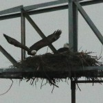 Bald Eagle - Nest: Week Eight Eaglets?